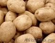 Картофель оптом. Урожай 2013