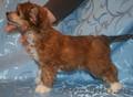 Щенки голой китайской хойлатой собаки