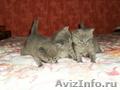 Продаются британские котята (мальчик и девочка)