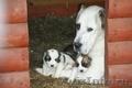 Продаются чистопородные щенки среднеазиатской овчарки (алабай,  волкодав)