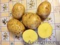 Картофель сорта ГАЛА!