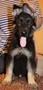 восточноевропейской овчарки щенок, Объявление #1565045