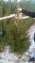 Живые новогодние елки и сосны оптом - Изображение #3, Объявление #1591189