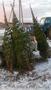Живые новогодние елки и сосны оптом - Изображение #2, Объявление #1591189
