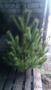 Живые новогодние елки и сосны оптом